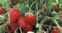 Khasiat Buah Strawberry Untuk Kesehatan
