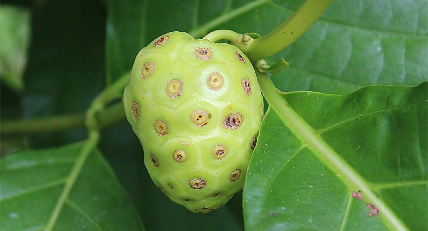 Khasiat Tanaman Herbal Mengkudu Pace