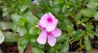 Khasiat Tanaman Herbal Tapak Dara